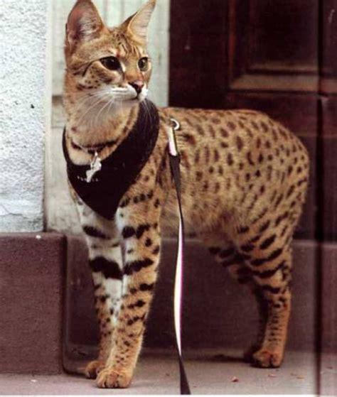 gatti persiani costo detroit avvistato un gatto di un metro e venti