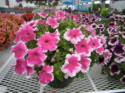 Bibit Bunga Petunia jual beli tanaman bunga petunia pink picotee baru