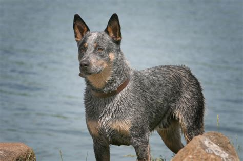 blue heeler blue healer search engine at search