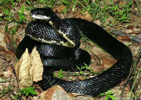 Garden Snake Tennessee Black Rat Snake Flickr Photo