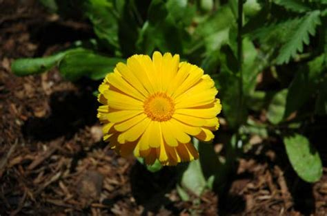 pictures of flowers pot marigold calendula