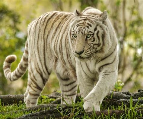 tiger species of the world tiger species