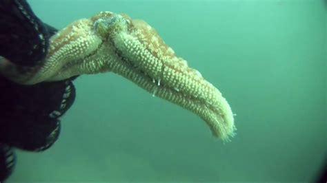 Maxi Sceva Syari sea regeneration