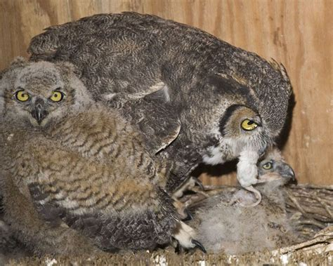 17 best images about great horned owl project on pinterest