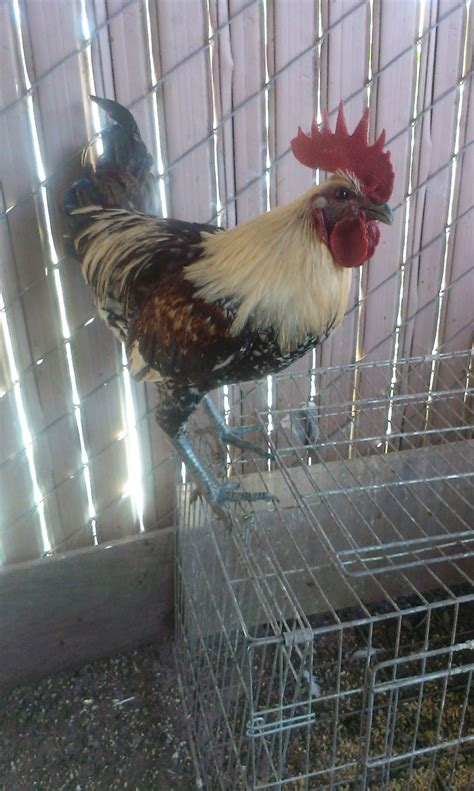 Mainan Ayam Merak Peacock No 700 1 chicken show any breed any age