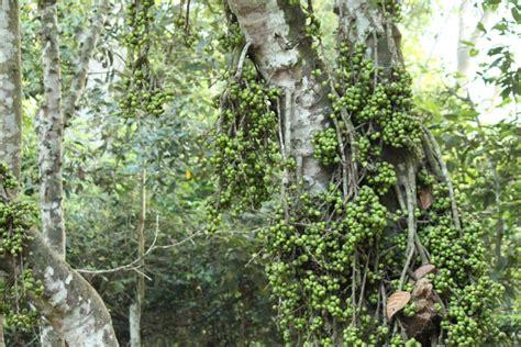 athi fruit tree my spiritual journey natchitiram raasi and saptarishis