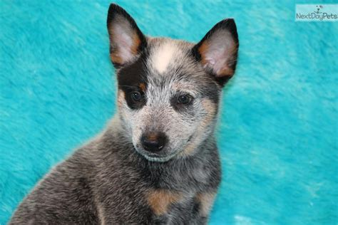 miniature blue heeler puppies for sale near me heeler puppies for sale fort worth dogs for sale puppies breeds picture