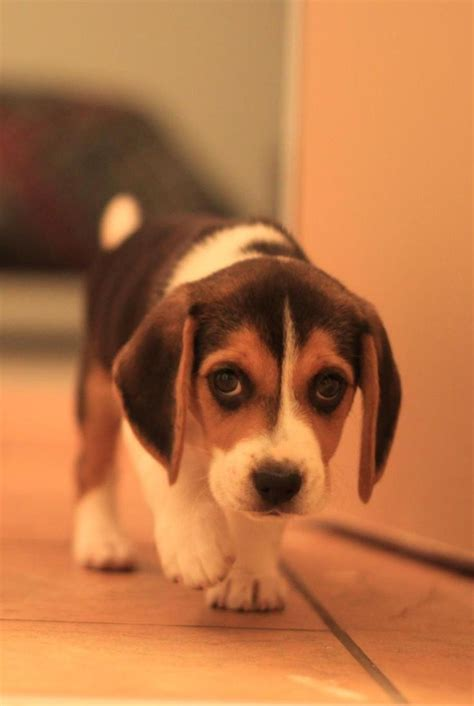 how much are beagle puppies best 25 beagle puppies ideas on beagle puppy baby dogs and pupper doggo