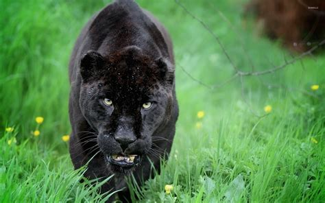 Animal Black black panther sneaking in the green grass wallpaper
