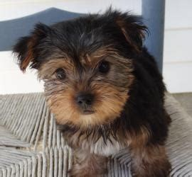 yorkie rescue in ohio best 20 terrier rescue ideas on yorkie yorkie puppies and