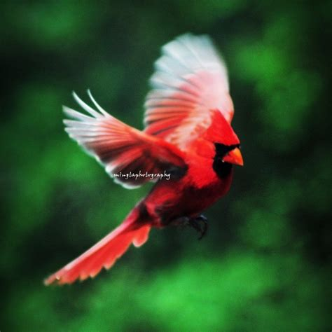 cardinal in flight cardinal red male cardinal christmas red