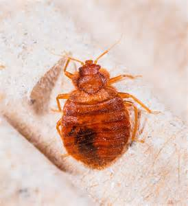 How Do You Kill Bed Bugs Chinches Www Imgkid Com The Image Kid Has It