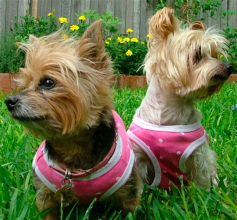 adopt a pet yorkie adopt a pet from a yorkie rescue breeds picture
