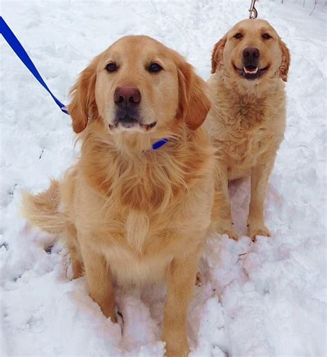 golden retriever rescue lancashire these are ch 5 yrs curly sue 3 yrs they were