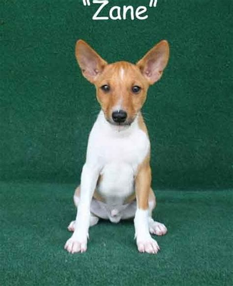 basenji puppies for sale basenji sale singapore basenji puppies buy buy basenji breeders basenji dogs breed