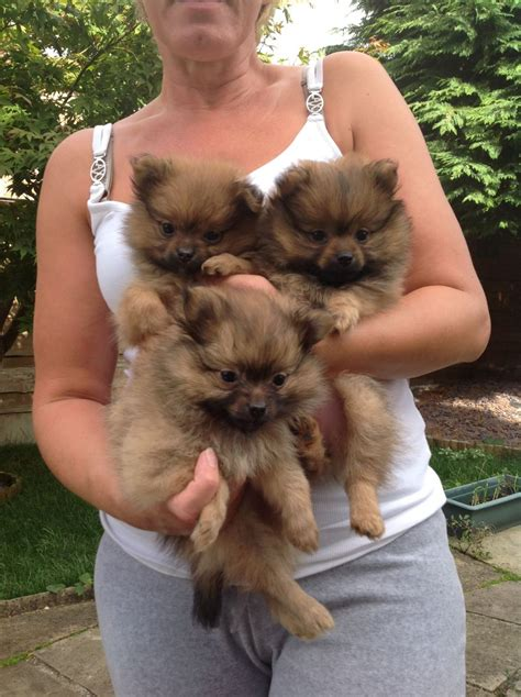 teacup pomeranian puppy teacup pomeranian puppies sold to fabulous family altrincham greater manchester
