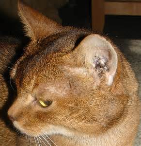 ear mites home remedies breeds picture