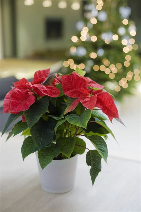 28 best when do poinsettias turn poinsettia blooming