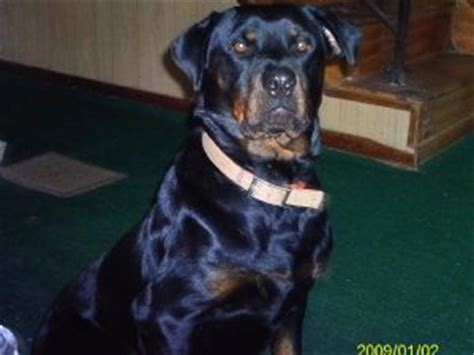 rottweiler puppies for sale in ohio 300 dollars rottweiler puppies ohio dogs in our photo