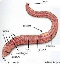 earthworm exterior parts worm diagram wiring library