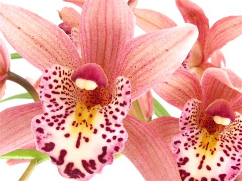 Heandfree Lovely Me orchid funky friends factory