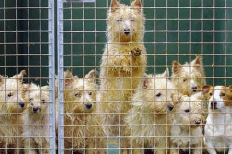 jacks puppy farm puppy farm raid by rspca and rescues 55 mistreated dogs mirror