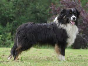 le berger australia berger australien chien et chiot australian shepherd