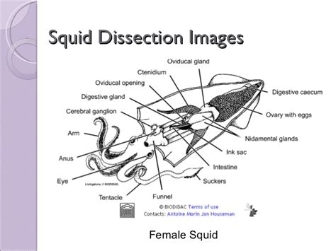 squid labeled diagram worksheets squid dissection worksheet opossumsoft