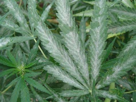 zolfo fiori zolfo ramato parassiti delle piante come usare lo