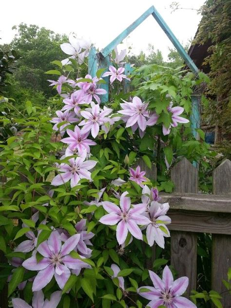 Clematis On Trellis clematis on trellis flowers at s