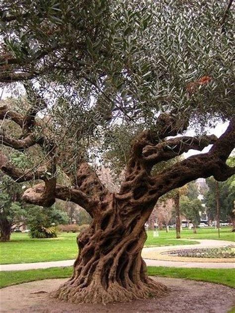 prezzi ulivi da giardino ulivi olea europaea alberi ulivi alberi