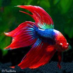 male betta for sale aquariumfish net