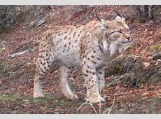 Abe's Animals: All recognized subspecies of the Eurasian lynx Iwmcg