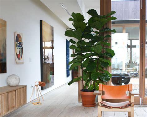 care   fiddle leaf fig homes