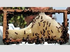 Honey Bee Farming Information Guide   Agrifarming.in Royal Jelly