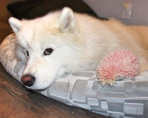 Nail Clipper Dodo sits next to a pink puff but when it starts to move