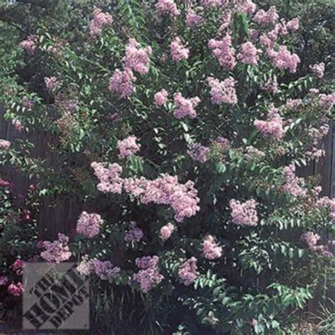 crape myrtle muskogee lagin10br1218in the home depot