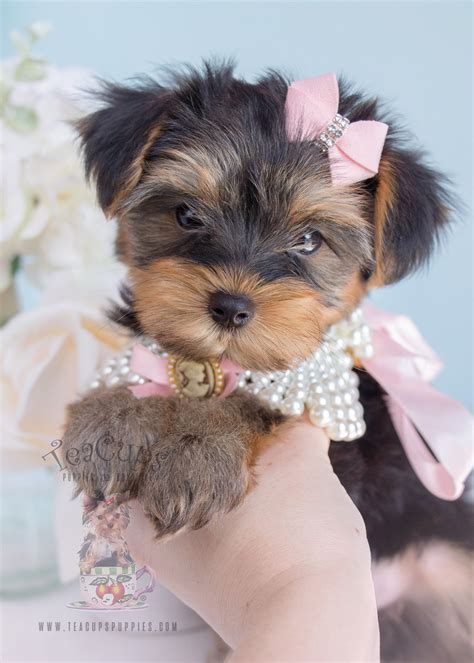 cup size yorkies puppies for sale teacup yorkie puppies for sale south florida breeds picture
