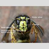 Queen Wasp Compared To Normal Wasp | 400 x 300 jpeg 145kB