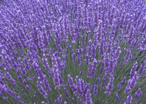 Fragrant Bedding Plants - buy lavender lavandula angustifolia munstead delivery by waitrose garden in association with