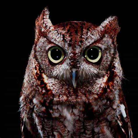 Screech Owl Po Archives - bob croslin s bird series notcot