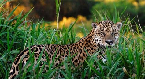 what do jaguars eat in the tropical rainforest jaguar basic facts about jaguars defenders of wildlife