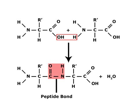 diagram of peptide bond structure of carbonyl pics
