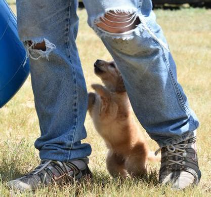 golden retriever breeders missouri mini golden retriever missouri dogs in our photo