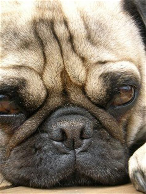 pug puppy has diarrhea pug wrinkles infection cleaning pug information center