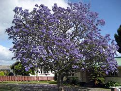 jacaranda mimosifolia wikipedia la enciclopedia libre
