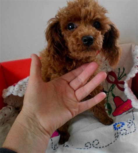 teacup puppies for sale in arkansas teacup poodle puppies for sale in arkansas