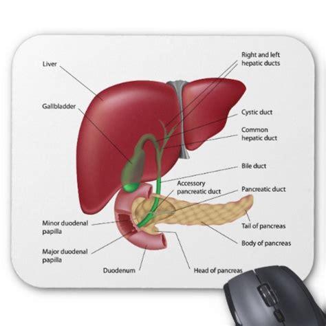 diagram of liver pancreas pancreas diagram