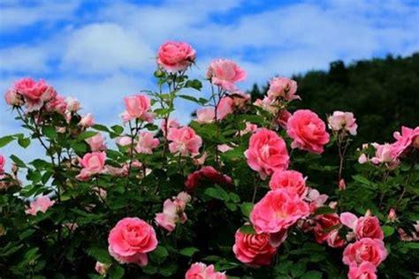 wallpaper bunga rose pink mengenal macam macam nama bunga dalam bahasa inggris