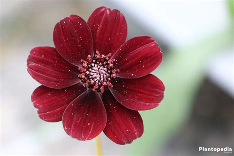 chocolate cosmos cosmos atrosanguineus chocolate cosmos flower how to